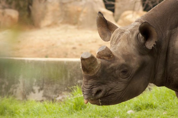 ALL FOR A HORN: Kirsty Brebner compares what is made up of a horn equivalent to that of what's made up of a finger nail. She estimates that one rhino costs R350 000.                                                                                                              Photo: File Photo