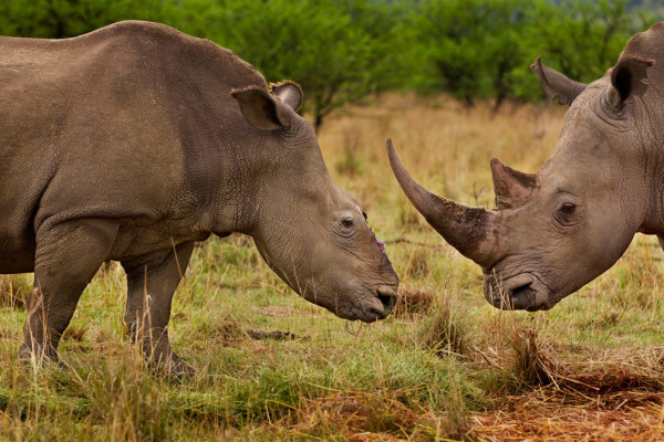 DEHORNED: There are pro's and cons to dehorning rhino's. Photo: Brent Stirton