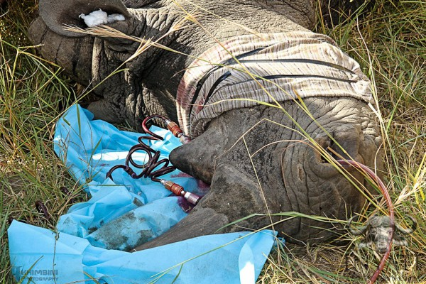 RHINO DYE: Horns are treated with chemicals to make render them valueless. Photo: Provided.