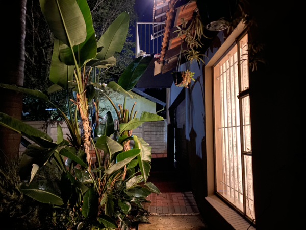 My bedroom light shines warmly onto the banana palm tree outside my bedroom.